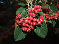 red berries on green leaves