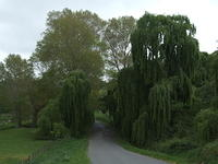 Willow trees, Hawkes Bay, New Zealand