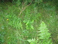 fern_in_grass_sw.JPG,plants,texture,grass,fern