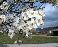 Bradford Pear Tree Blossoms 1