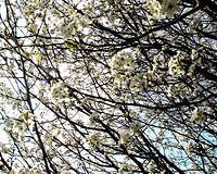 Bradford Pear Tree Blossoms 3