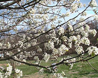 Bradford Pear Tree Blossoms 5