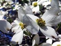 Dogwood Tree flowers
