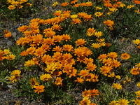 Orange Beach Flowers, Napier, New Zealand