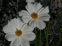 two_daisies