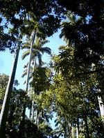 Ancient palmtrees, at Museu da República, Rio de Janeiro. This is the place from where Brazil was governed until the creation of