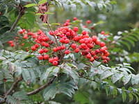 rowan_berries_or_mountainash_sw.JPG