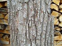 old_tree_bark_TT7010082.JPG