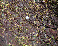 Mockingbird in a Bradford Pear tree