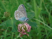 A blue butterfly Common Blue on a Red Clover